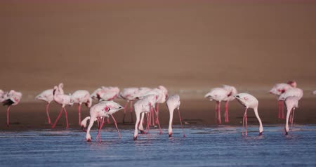 waders : 4K Lesser flamingos feeding in lagoon with sand dunes in the background