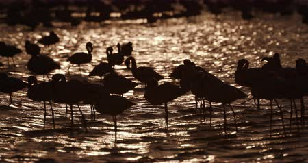 waders : 4K Lesser flamingos in silhouette against gold coloured water