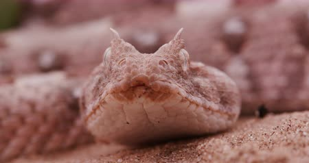 vuruş : 4K face on view of horned adder flicking its tongue Stok Video
