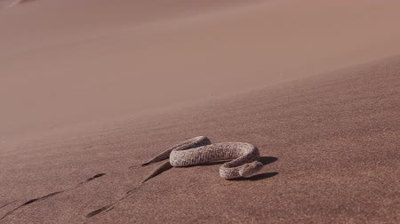 змей : Slow motion shot of sidewinderPeringueys adder moving across the sand dune