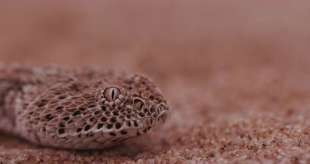 disguised : 4K close-up of SidewinderPeringueys adder flicking its tongue
