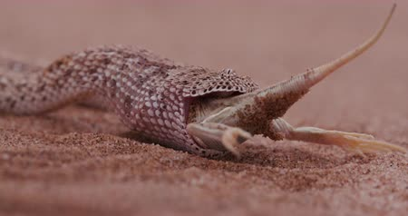 disguised : 4K shot of sidewinderPeringueys adder eating a shovel snouted lizard