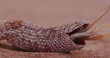 charakteristický : 4K shot of sidewinderPeringueys adder eating a shovel snouted lizard