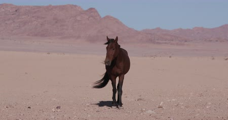 namibya : 4K view of a wild horse running up to a waterhole and drinking