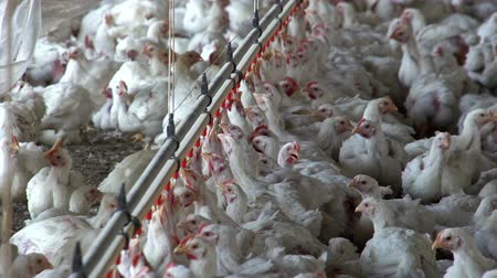 çiftlik : Intensive factory farming of chickens in broiler houses,South Africa