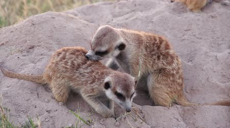 small group of animals : Meerkats are social animals and often groom each other,Botswana