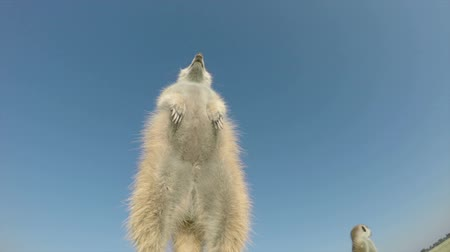 sunning : low angle view of a meerkat standing upright and sunning itself,Botswana Stock Footage