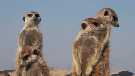 опасность : Meerkat family sunning themselves in the early morning sunshine,Botswana