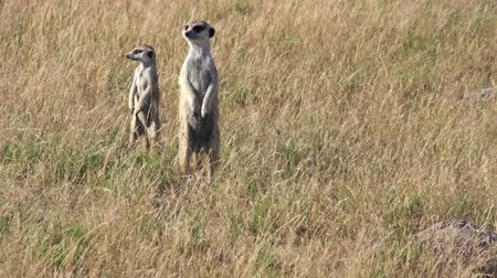 safari animals : Group of meerkats foraging in the grass for food,Botswana