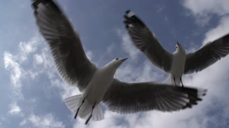 coulds : Seagulls flying in slow motion. Hartlaubs gull, Cape Town, South Africa