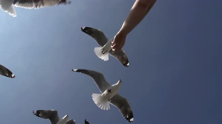 coulds : Woman feeding seagulls.Hartlaubs gull, Cape Town, South Africa