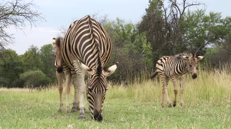 afrika : Zebra foal with mother, South Africa
