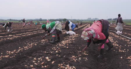 güney afrika : 4K female farm workers planting onions by hand Stok Video