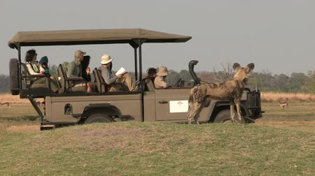 hunting dog : Unusual shot of wild dog using tourist safari vehicle for cover while hunting