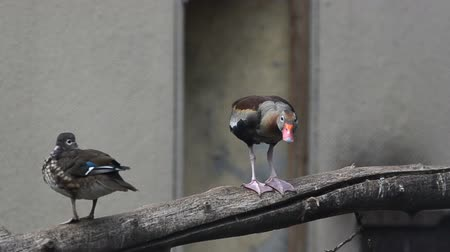 young sparrow : Rear species: mandarin ducks. One of them is quacking