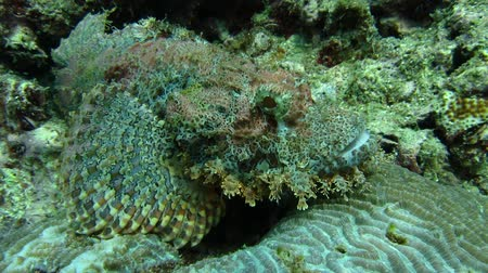 barbatus : Bearded scorpionfish Scorpaenopsis Barbatus escapes ambush