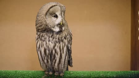 Tawny Owl blinks and spins head. Contact zoo. Birding of wild birds in captivity.