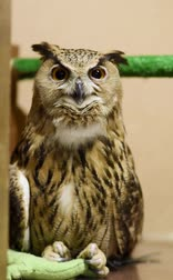 sas : Eagle owl blinks and spins head. Contact zoo. Birding of wild birds in captivity.