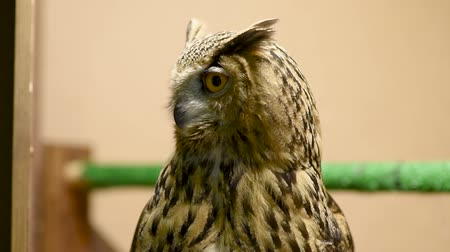 gavilan : Eagle owl blinks and spins head. Contact zoo. Birding of wild birds in captivity.