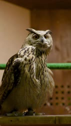 Eagle owl blinks and spins head. Contact zoo. Birding of wild birds in captivity.