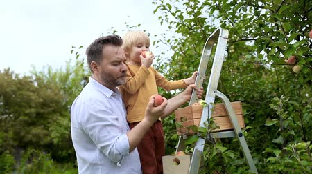 Little boy with his father picking apples in orchard. Child and dad standing on a ladder, putting fruits into box and eating apples. Harvesting in the domestic garden in autumn. 影像素材