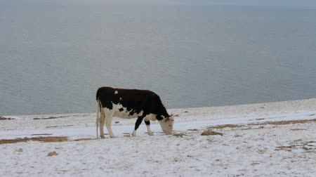 subsistence : Cow eating dry grass on the shore of Lake Baikal in winter