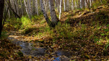 queda : The creek flows through a sunny autumn birch forest. Time lapse. Movement