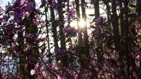 rhododendron : Beautiful sunset in forest. Rays of setting sun lighting amazing pink flowers Stock Footage