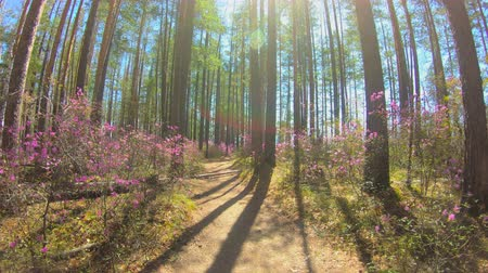 rhododendron : Personal perspective of walking on a path in the forest. Pink flowers, sunlight
