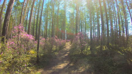 rhododendron : Personal perspective of walking on a path in the forest. Pink flowers, timelapse