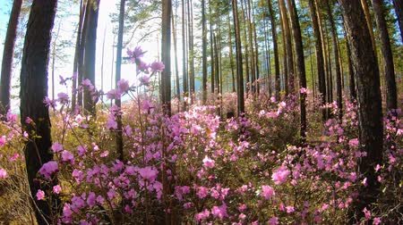 rhododendron : Sunlight through the trees in the forest among the pink flowers of the Rhododendron. Walk through the woods