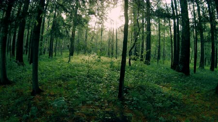 Dark green mixed forest. Camera movement among the trees
