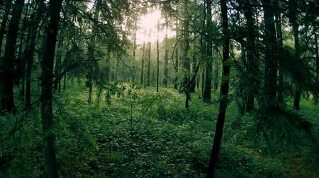 dzsungel : Dark green mixed forest. Camera movement among the trees