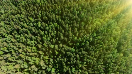 Drone flying forward above beautiful sunny green forest. Aerial vertical shot