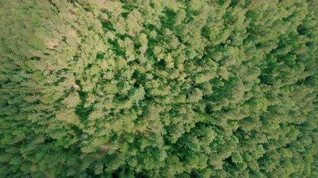 Aerial drone shot over the forest. Drone rise up and rotates