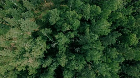 forest preservation : Aerial drone shot over the forest. Drone slowly flies forward