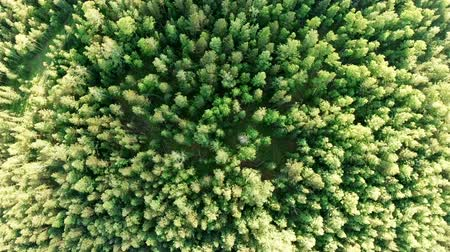ortam : Aerial vertical shot above treetops. Drone hovering over forest