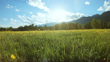 цветущий : Yellow wildflowers on the meadow in sunny day. Rural landscape