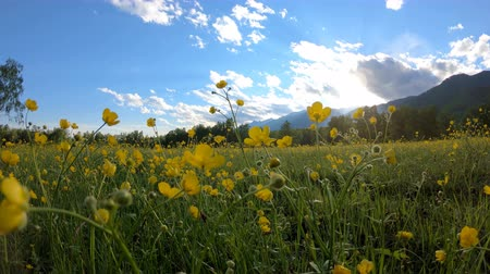 цветущий : Yellow wildflowers on the meadow. Rural landscape