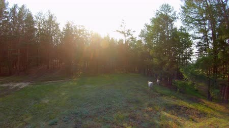 kayran : Cows running to forest. Drone flies forward follows the cows at sunset
