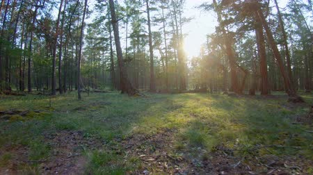 clearing away : Running through the woods at sunset. POV. Steadicam shot Stock Footage