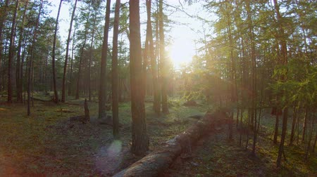 zálesí : Pan in the forest. Lens flare