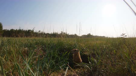 девственница : Gopher leaned out of his hole and stands motionless. Close up