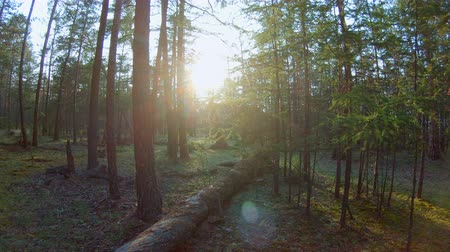 pień : Pan in the forest. The bright sun shines through the trees. Lens flare
