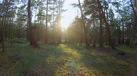 dżungla : Walking in the coniferous forest at sunset