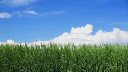 Green wheat field on blue sky with clouds on background Stok Video
