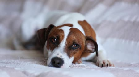zvedák : Sad jack russell terrier lying on sofa. Closeup view