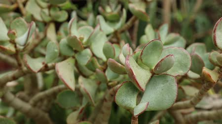 houseplant : Close-up view at succulent in summertime season. Stock Footage