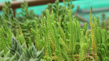 алоэ : Close-up view at succulent in summertime season. Стоковые видеозаписи