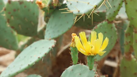 алоэ : Close-up view at blossom flower of succulent cactus in summertime season.